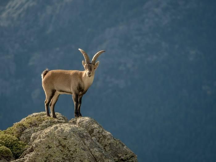 Alpine Ibex, Spain shutterstock_530816947.jpg