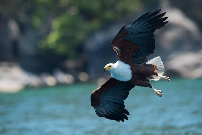 African Fish Eagle, Lake Malawi, Africa shutterstock_680292646.jpg