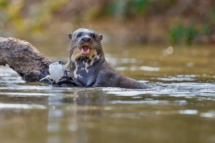 Giant Otter Shutterstock 527604211