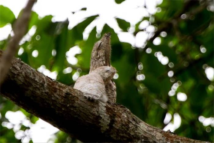 Great Potoo (Mike and Karen Galtry)