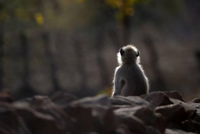 Common Langur, Bandhavgarh (Talat Khalid)