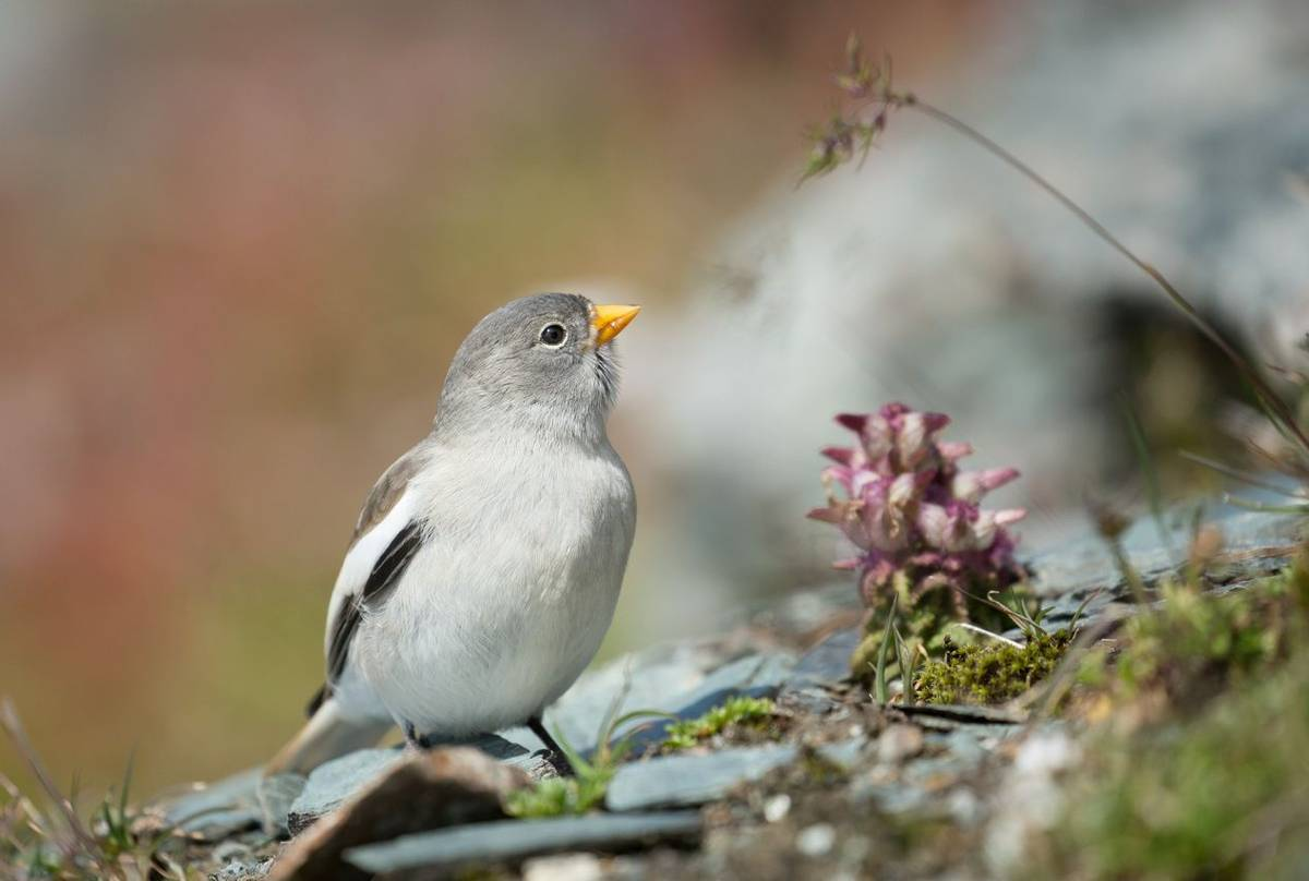 White-winged Snowfinch shutterstock_384822166.jpg
