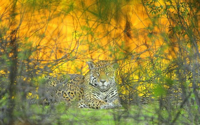 Jaguar, Brazil,Shutterstock 1115352986