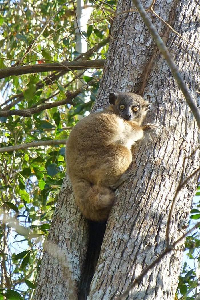 Hubbard's Sportive Lemur (Kerrie Porteous)