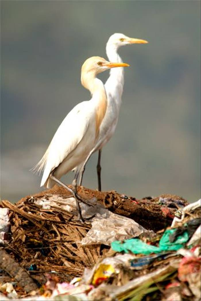 Cattle Egrets (Bret Charman)