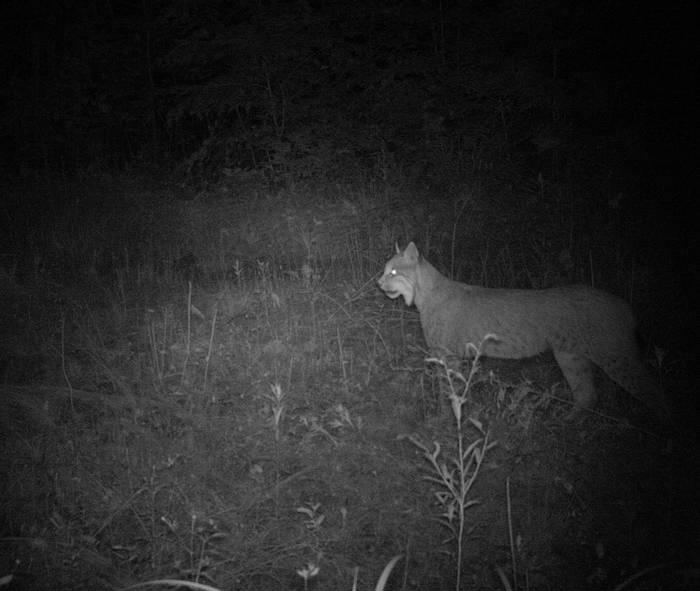 Camera Trap Image Of Eurasian Lynx