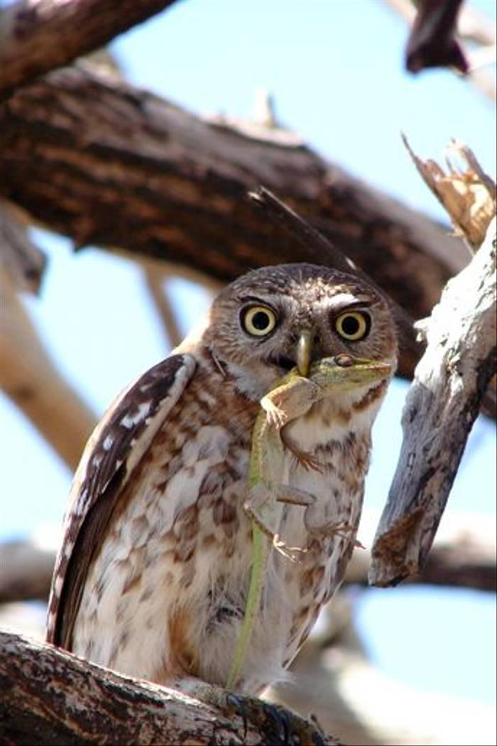 Cuban Pygmy Owl (A Kirkonell)