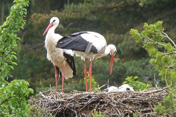 White Storks (Byron Palacios)