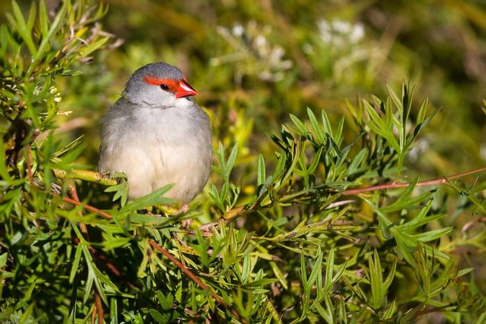Red-browed Finch. shutterstock_23153179