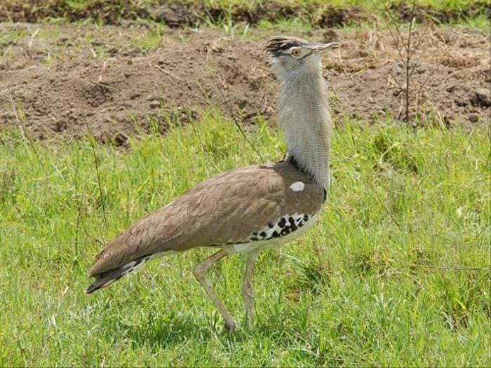 Kori Bustard (David Mercer)
