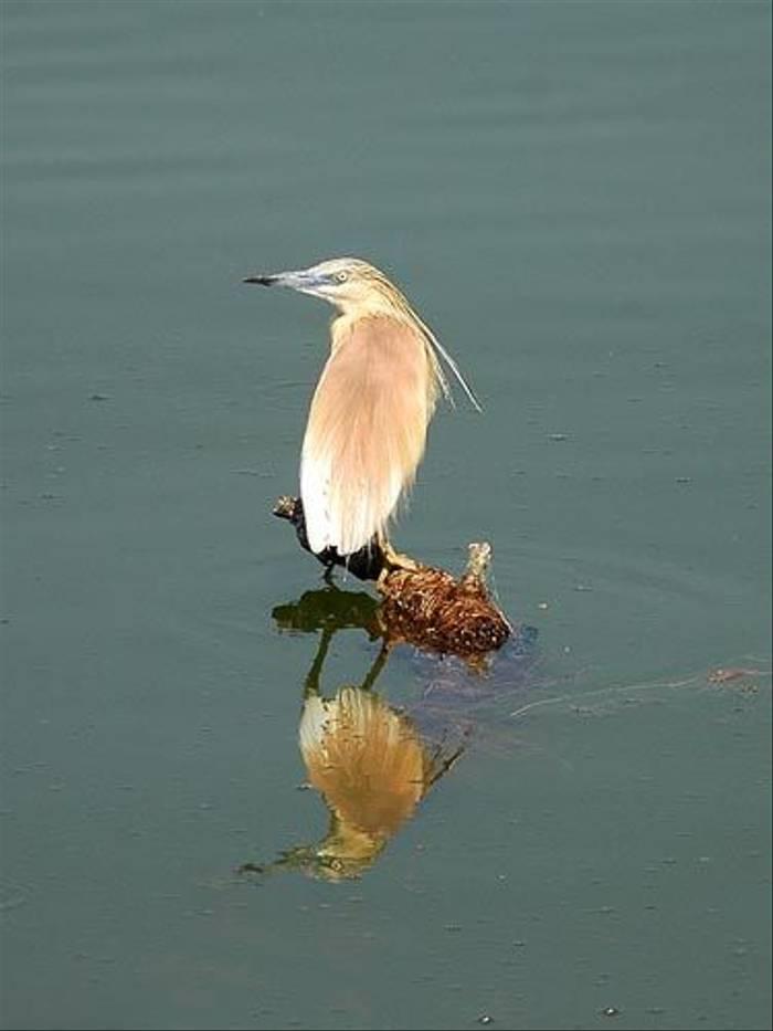 Squaco Heron (David Morris)