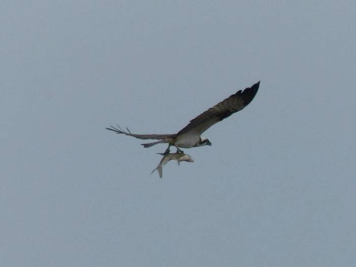 Osprey with fish (Dave Smallshire)