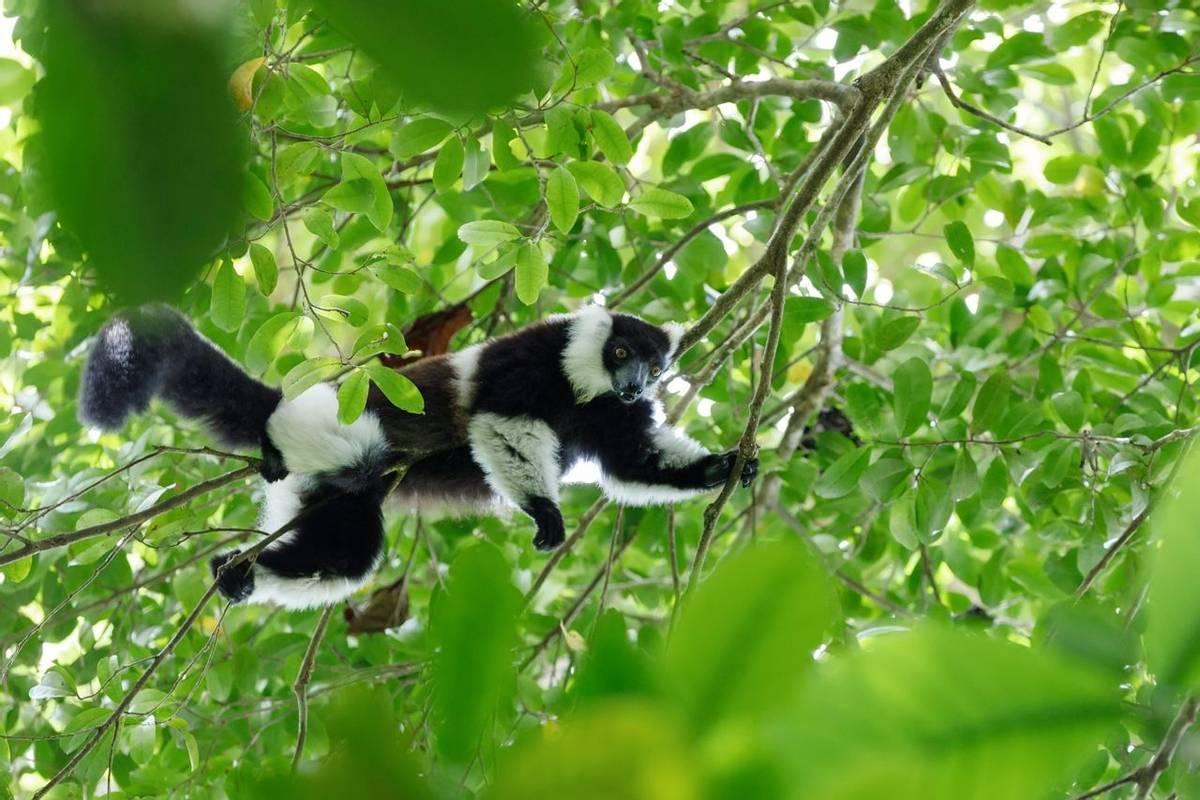 Black And White Ruffed Lemur, Madagascar Shutterstock 567892270