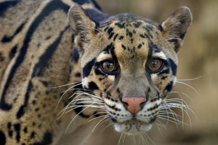 Clouded Leopard, Deramakot