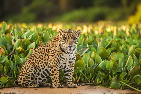 Jaguar Shutterstock 212541019