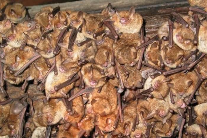 Geoffroy's Bats