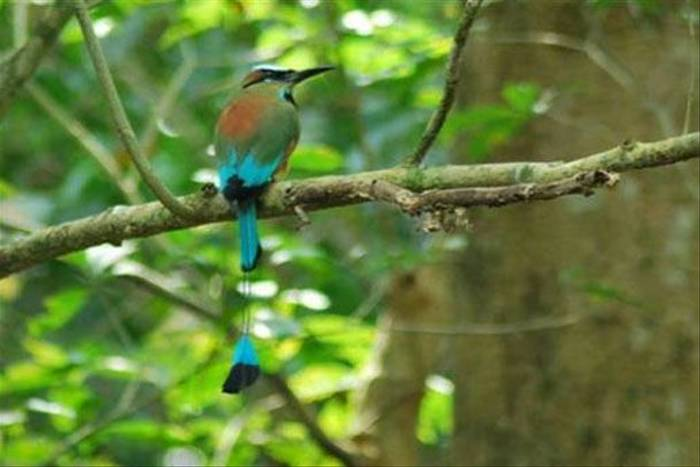 Turquoise-browed Motmot (Colin Sedgwick)