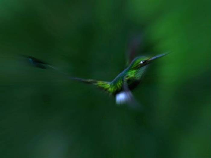 Booted Racket-Tail (Mark Caunt)