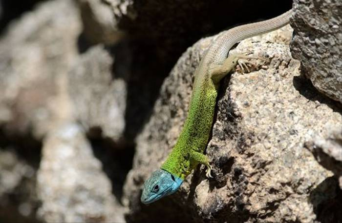 European Green Lizard (Richard Stern)