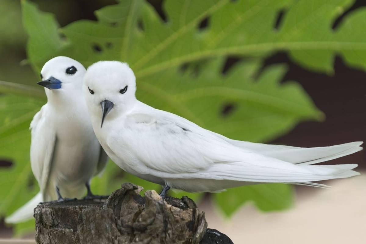 White Terns (Fairy Terns) Seychelles shutterstock_193444748.jpg