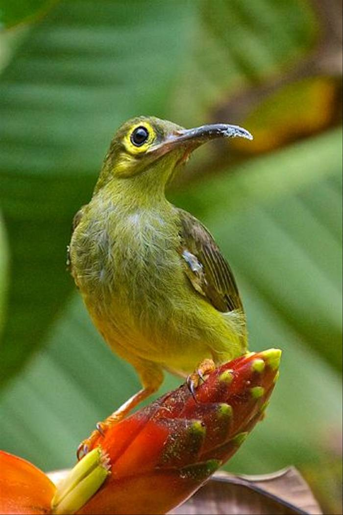 Spectacled Spiderhunter (Dani Free)