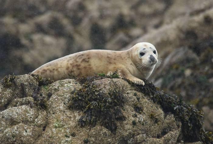Grey Seal (John Horton)