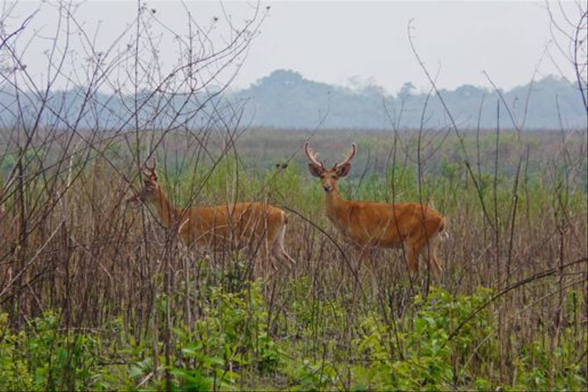 Young male Swamp Deer, Bardia National Park (Rajan Jolly)