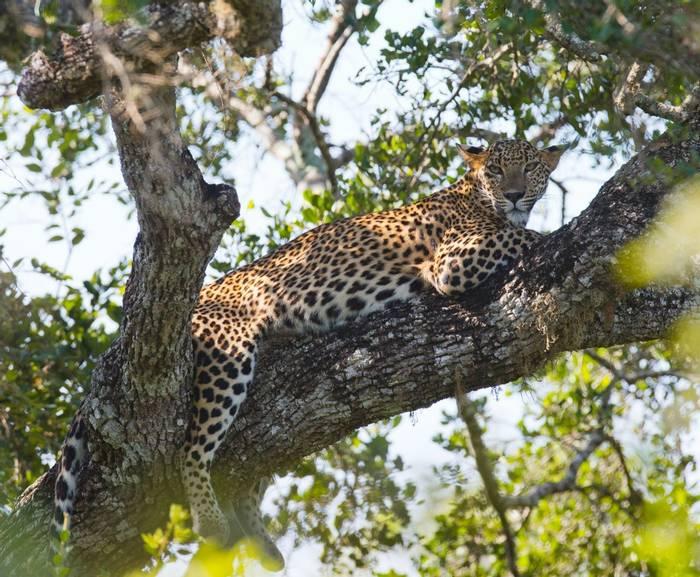 Leopard, Yala, Sri Lanka shutterstock_336644030.jpg