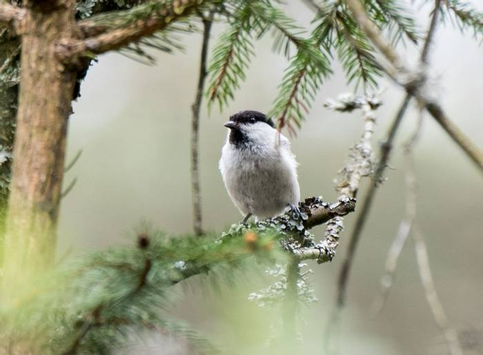 Willow Tit (Alexander Barclay)