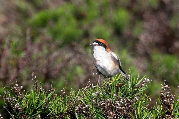 Woodchat Shrike (Ken Williams)