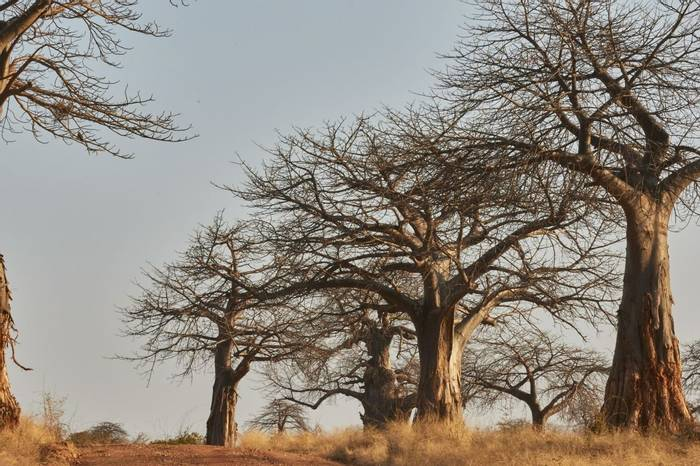 Baobabs (Andrew Griffin)