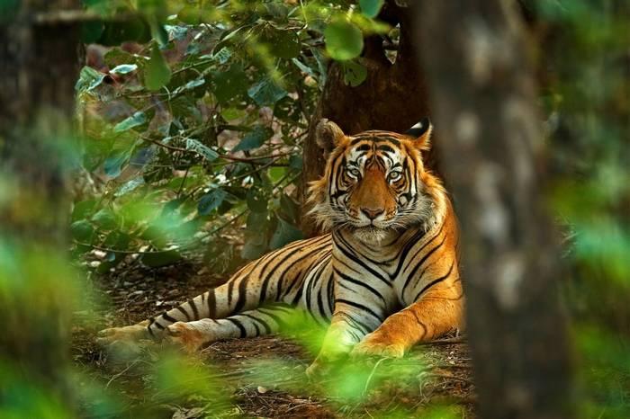 Tiger Shutterstock 667856146