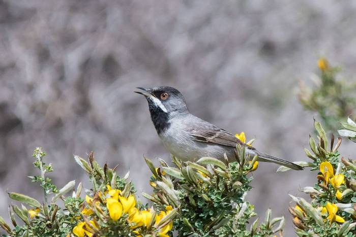 Ruppell's Warbler (Mike Vickers)