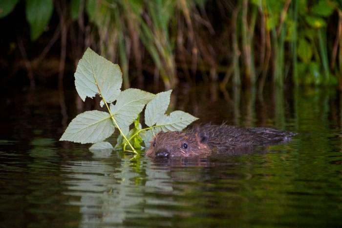 Baby Beaver (Ed Brazier)