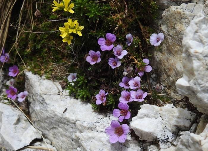 DSCN9959 Saxifraga Oppositifolia & Draba Aizoides