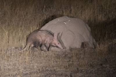 Aardvark, South Africa by John Davies