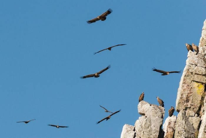 Griffon Vultures shutterstock_1016411896.jpg