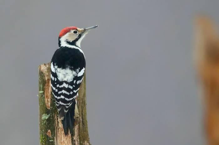 Poland White-backed Woodpecker shutterstock_593123717.jpg