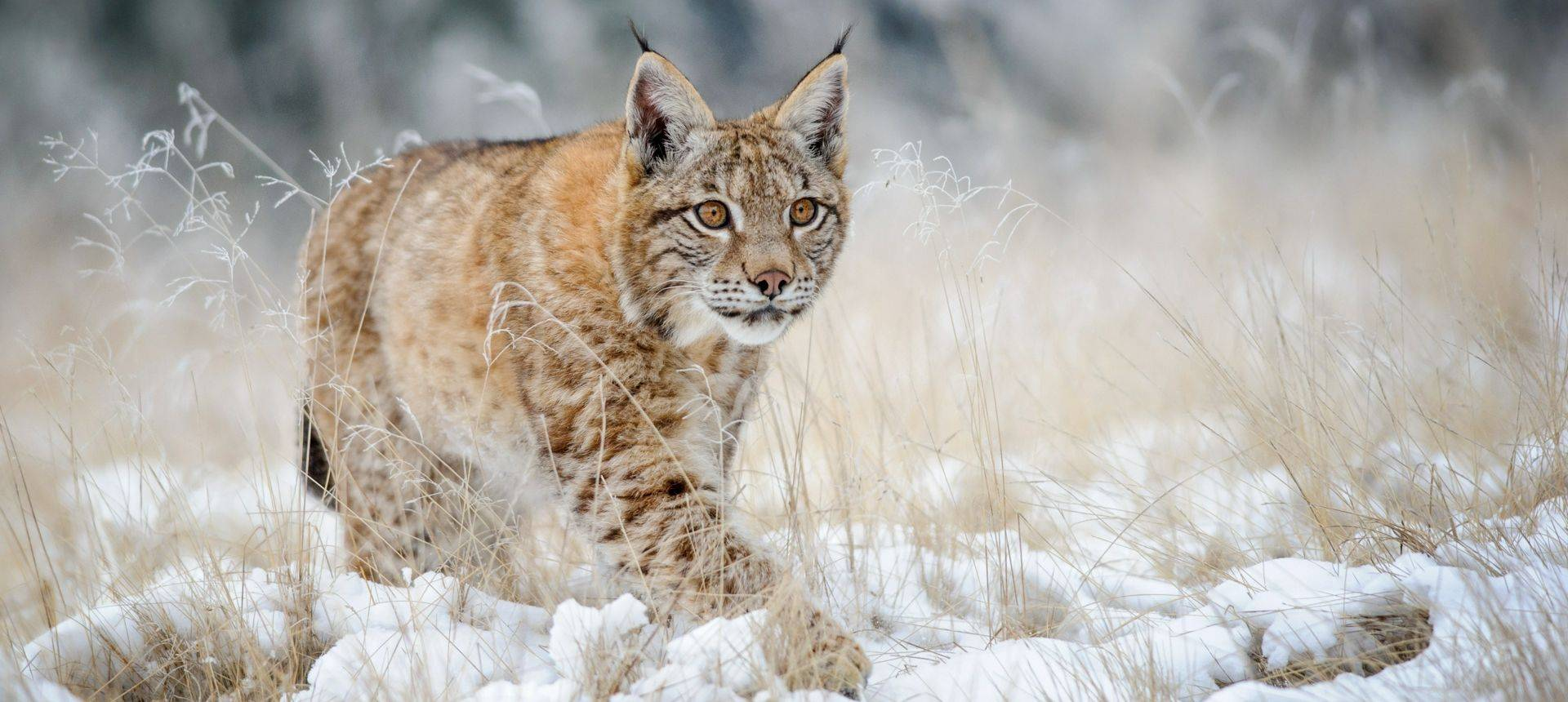 poland s mammals in search of the eurasian lynx naturetrek