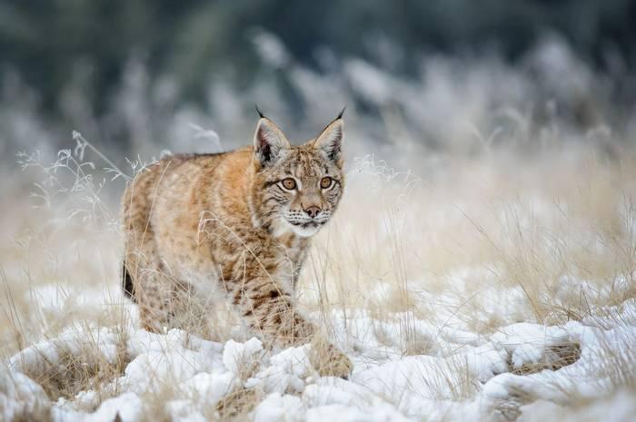 Lynx Eurasian Lynx Shutterstock 304031900