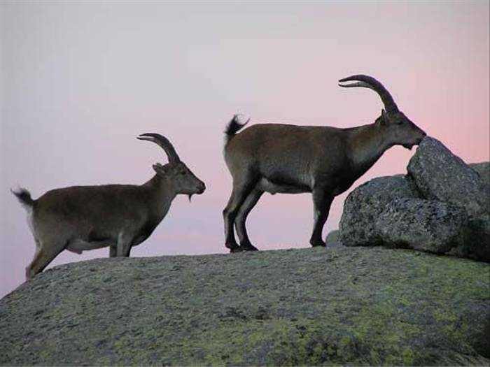 Spanish Ibex at sunset (Thomas Mills)