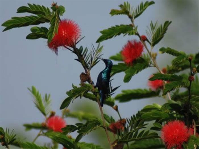 Purple Sunbird (Thomas Mills)
