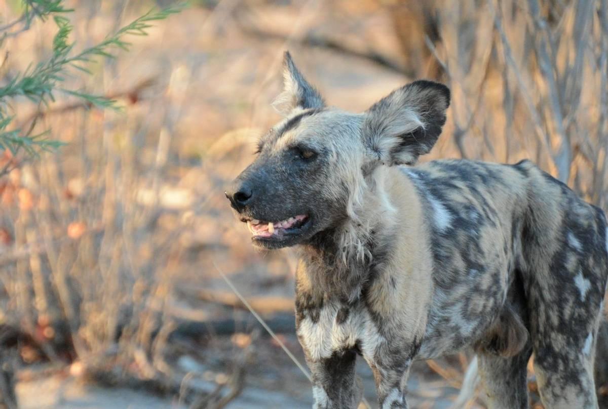 African Wild Dog (Rob Thatcher)