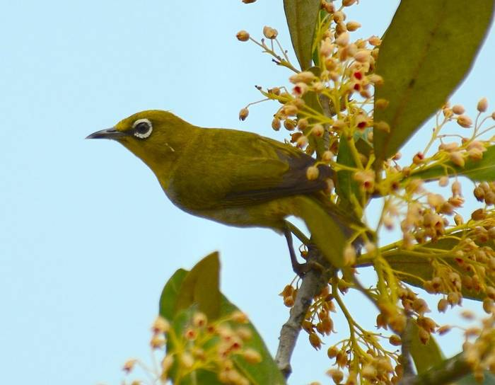Oriental White Eye (Pradeep Singh, Sunderban Extension)