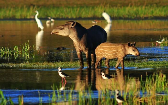 Brazilian Tapir Shutterstock 1014764077 (1)
