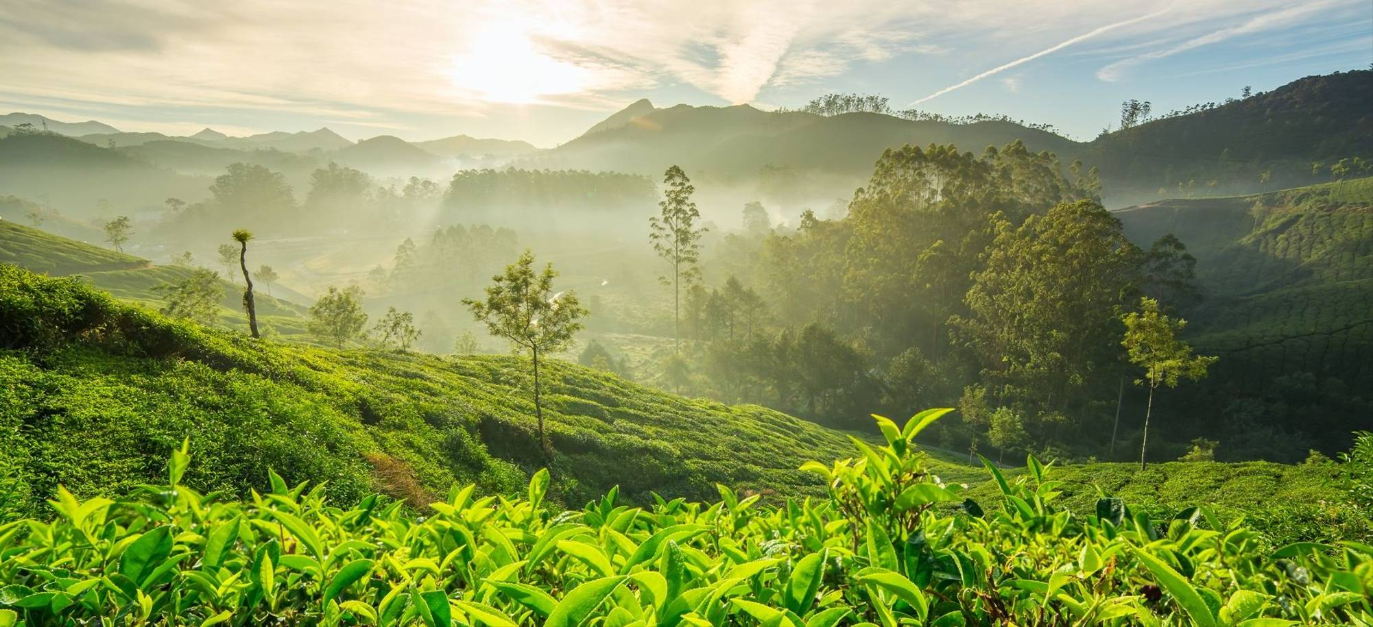 Tea Plantation, Colombo
