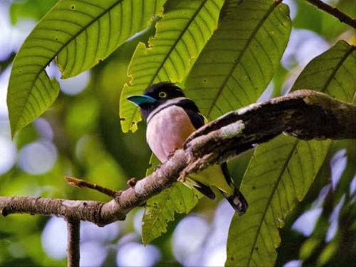 Black and Yellow Broadbill (Mike Galtry)