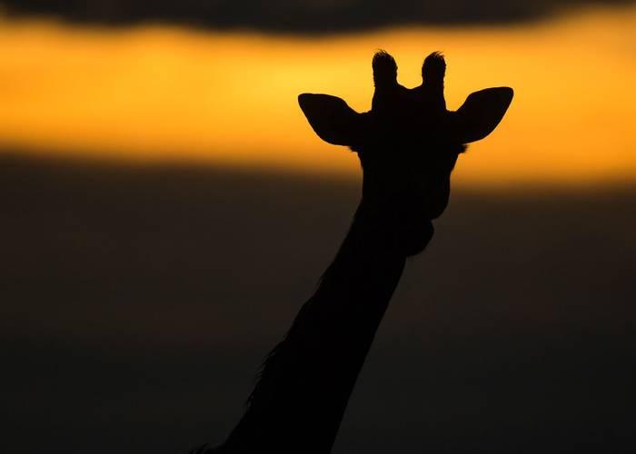 Giraffe (Jonathan Lewis)