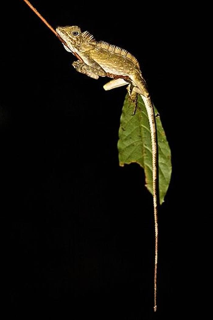 Lizard sp. (Dani Free)