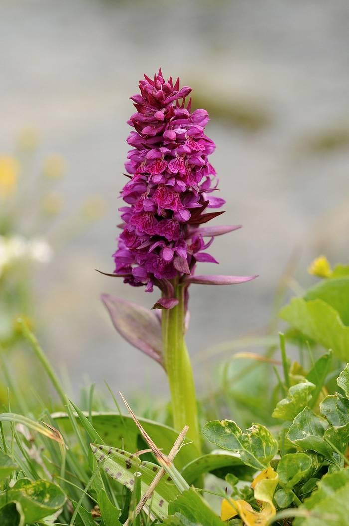 Broad Leaved Marsh Orchid1 - Copy.jpg